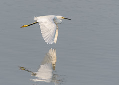 Snowy Egret (beachwalker2008) Tags: snowyegret bif birdinflight water reflection