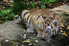Kleiner Tiger (SandyLee.Munro) Tags: amurtiger sibirischer tiger zoo duisburg 2016 panthera tigris altaica grosskatze katze cat fell fur natur nature flickr neu new august wasserstelle zunge