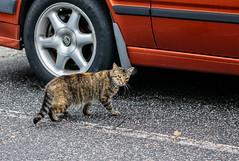 Battle Scarred (Gabriel FW Koch (fb.me/FWKochPhotography on FB)) Tags: kitten bokeh lseries eos asphalt face calico 100mm car cute pretty kitty mouser feline canon parkinglot cat dof tail watchful
