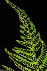 Farn (leo neycken) Tags: makro mikroskopie spore farn flora microscopy