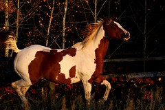 ~Autumn Flirt~ (cowgirlrightup) Tags: lily americanquarterhorsepaint painthorse autumn cowgirlrightup canon40d
