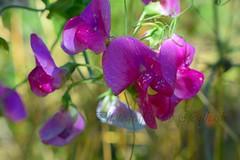 Flower (smile4433) Tags: flower photography uk london fenthashi smile nikon freedom