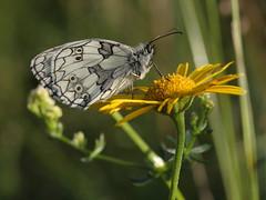 butterfly (Xtraphoto) Tags: schachbrett butterfly macro nature natur flower yellow blume white black weiss