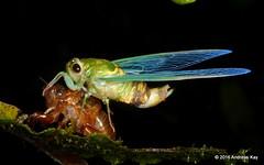 Freshly molted Cicada (Ecuador Megadiverso) Tags: andreaskay ecuador cicada cicadidae fundacionfaunadelaamazonia hemiptera molting
