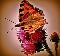 Small tortoiseshell on a thistle (FotoArtCircle) Tags: macro animal fauna butterfly tiere flora thistle makroaufnahme makro aglaisurticae nahaufnahme smalltortoiseshell schmetterlinge florafauna distel insecta kleinerfuchs nymphalidae panker tierwelt flugtiere edelfalter macroaufnahme freistellung freigestelltesobjekt blinkagain nesselfalter rememberthatmomentlevel4 richardvonlenzano rememberthatmomentlevel2 rememberthatmomentlevel3 ineskten rememberthatmomentlevel5 rememberthatmomentlevel6 matzwitz nymphalisurtivae