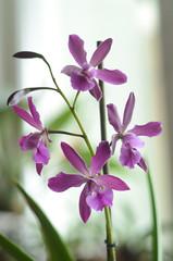 EpiCattleya Purple Glory (mellting) Tags: orchid flower nikon lgenheten epicattleya orchidhybrid myorchids nikkor5018 bloggad purpleglory nikond7000 orkidetama matsellting epicattleyapurpleglory epicpurpleglory melltig