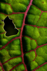 Dont leaf (Trivial Dependence) Tags: pink color nature leaf micro marco ais 55mm35 exttube fittoniaverschaffeltii pierrestachurska nikond800