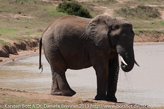 """Cape Elefant • <a style=""""font-size:0.8em;"""" href=""""http://www.flickr.com/photos/56545707@N05/8364621675/"""" target=""""_blank"""">View on Flickr</a>"""