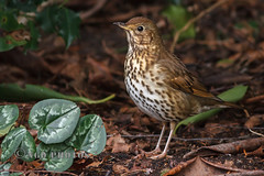 Song Thrush (Nigel Dell) Tags: winter birds flickr wildlife places hampshire fleet fsg ngdphotos