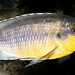 Petrotilapia genalutea Chimwalani Reef
