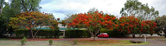 Flowering Trees (Otto_G) Tags: panorama pano queensland emerald floweringtrees