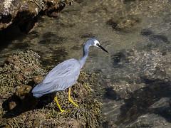 White-faced Heron (malk271) Tags: bird heron water birds fauna january australia olympus victoria torquay f8 45mm 43 wader whitefaced mft 2013 microfourthirds omdem5
