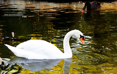 Swan (Noni Alk) Tags: camera red sea usa baby white playing money black green love beach beauty childhood animal animals photoshop canon square photography zoo photo blackwhite duck kid flickr photographer child play ducks romance photograph seashell kuwait q8       60d  canon60d  iphoneography instagram
