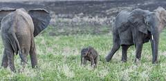baby elephant, his mother and aunt? (clindaro) Tags: africanelephant babyelephant