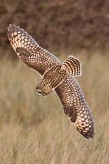 078189-IMG_1057 Short-eared Owl (Asio flammeus) (ajmatthehiddenhouse) Tags: uk bird kent 2012 asio shortearedowl asioflammeus sandwichbay flammeus worthmarshes