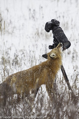 """A red fox in Churchill, Manitoba. • <a style=""""font-size:0.8em;"""" href=""""http://www.flickr.com/photos/92120860@N06/8453683903/"""" target=""""_blank"""">View on Flickr</a>"""