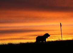 Spaniel at sunrise (cocopie) Tags: sunrise spaniel