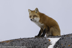 "A red fox in Churchill, Manitoba. • <a style=""font-size:0.8em;"" href=""http://www.flickr.com/photos/92120860@N06/8454773430/"" target=""_blank"">View on Flickr</a>"