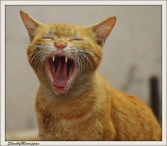 open your mouth..  ha..ha..ha. (Shanthy Mariappan) Tags: smile cat gingercat