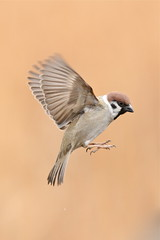 About to land (akurashashin) Tags: bird wildlife flight sparrow treesparrow 752 52weeks