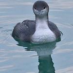 008002-IMG_2020 Black-throated Diver (Gavia arctica) thumbnail