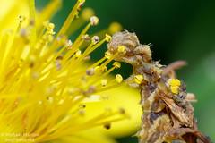 Camouflaged Looper (jialiar) Tags: macro moth camo lepidoptera caterpillar geometridae 1855mm inchworm reverselens looper synchlora synchloraaerata wavylinedemerald camouflagedlooper