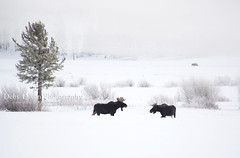 Bull Moose Standoff (Deby Dixon) Tags: coyote travel winter snow cold tourism nature outdoors nationalpark wildlife moose deer yellowstonenationalpark yellowstone wyoming elk bison wolves bighornsheep debydixonphotography