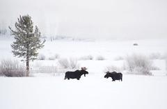 Bull Moose Standoff (Deby Dixon) Tags: coyote travel winter snow cold tourism nature outdoors nationalpark wildlife moose deer yellowstonenationalpark yellowstone wyoming elk bison wolves bighornsheep debydixonphotography