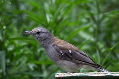 Grey Shrike-thrush 2013-03-09 (IMG_0985) (ajhaysom) Tags: australia lorne australianbirds greyshrikethrush colluricinclaharmonica lemonadecreekcottages