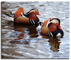 ~ Mandarin Ducks ~ (Ruth S Hart) Tags: uk wild reflection pond essex mandarinducks thebistro writtle thewonderfulworldofbirds nikond5100