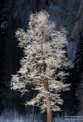 Frost-Covered Tree, El Capitan Meadow, Yosemite (Charlotte Hamilton Gibb) Tags: california winter nationalpark yosemite yosemitenationalpark yosemitevalley yosemitenp weatherandseasons