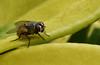 Sedienta (Gabriel Saavedra Torre) Tags: life costa naturaleza macro nature insect fly ecuador agua insects mosca insecto peqeueño
