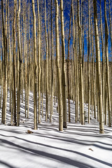 Through Aspens (Mabry Campbell) Tags: wood trees winter usa mountain snow cold newmexico santafe tree nature forest landscape photography countryside us photo woods whispering photographer unitedstates image unitedstatesofamerica alpine photograph trunk aspens 100 24mm trunks february nm aspen f71 photogragher verticallines santafenationalforest 2013 santafecounty tse24mmf35l ¹⁄₆₄₀sec eos5dmarkiii mabrycampbell february162013 whisperingaspen whisperingaspens 201302160h6a0415