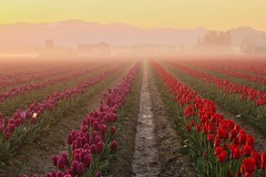 Skagit Valley Sunrise with fog and one white Tulip, Washington State (Don Briggs) Tags: fog sunrise tulipfields fulip canon50mmlens canon60d donbriggs flipdownlcd skagetvalleytulipfieldswashingtonstate
