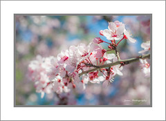 Cherry Blossom (onephotoeveryday) Tags: pink flowers flower pinkflower cherryblossom  cherrytrees pinkflowers   cherryflowers  apochromatkinoptikparis50mmf2