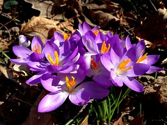 glucose iv (for M) (hmb52) Tags: flowers spring pennsylvania crocus m glucose photosynthesis merionstation