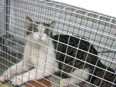 Cat Colony Trap and Release - Harry (strib10024) Tags: feralcatcolony nyccats upperwestsidecats