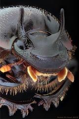 Two-horned Dung beetle under a Zeiss Luminar 40mm 1:4,5 (andre de kesel) Tags: beetle dung canon5dmkii canonbellowsfl zeissluminar40mm