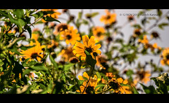 Yellow flower. (HareshKannan) Tags: plants flower green beauty yellow nikon scenery bokeh evergreen ooty d3100