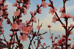 Spring is coming (73/365) (joaosilvaferreira) Tags: pink flowers sunset flower portugal spring blossom coimbra taveiro