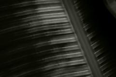 Palm Leaf (MTB2013) Tags: bw leaf slowshutter blackwhitephotos t2i