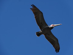 Pelican - Avila Beach (Bishop98) Tags: california new sunset sky sun beach nature coffee cake wall port gum pier big cafe sand san feathers pelican luis avila obispo