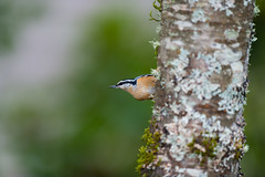 Red-breasted Nuthatch (Sitta canadensis) (absencesix) Tags: home nature birds animals march washington backyard unitedstates wildlife birding redmond northamerica locations wildanimals songbirds 400mm flashfired iso640 2013 englishhill 400mmf28 geo:state=washington geo:city=redmond activityaction apertureprioritymode redbreastednuthatchsittacanadensis hascameratype haslenstype selfrating3stars exif:iso_speed=640 redmondwashingtonunitedstates exif:focal_length=400mm camera:make=nikoncorporation 1800secatf28 exif:make=nikoncorporation geo:countrys=unitedstates exif:aperture=28 subjectdistanceunknown nikonsb910 nikond800e geo:lat=477206697 geo:lon=1221092737 474314n122633w exif:model=nikond800e camera:model=nikond800e hasflashtype exif:lens=4000mmf28 nikkor400mmf28gedafsvr march152013 nuthatchesfamilysittidae