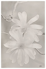 Star Magnolia  - Day 79 of 365 (jeanne.marie.) Tags: white spring magnolia day79 monchrome day79365 natureinmonochrome 3652013 365the2013edition 20mar13