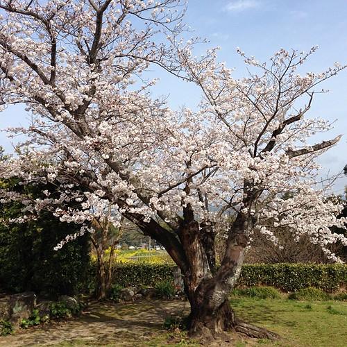 벚꽃 엔딩.