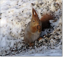 Breakfast for a squirrel (HJsfoto) Tags: winter snow squirrel ekorre boden almostanything