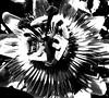 Black & White Passion... (Nik Photographie) Tags: fleurs passionfruit fruitdelapassion fleursdelapassion