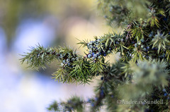 Juniper (A.Sundell) Tags: winter snow color colour nature forest prime spring dof pentax sweden bokeh f14 natur 55mm da skog sverige sn wideopen 5514 wintersweden pentaxk5 pentaxda55mmf14