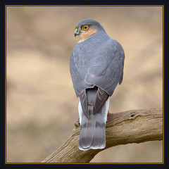 Sparrowhawk (m) (Full Moon Images) Tags: male bird nature wildlife sandy bedfordshire reserve prey birdofprey sparrowhawk thelodge rspb