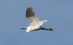 Little Egret (Julia-still away! catching up) Tags: white egret whitebird specanimal flyingegret canon300mmf28is canon5dmarkiii juliamartinphotography